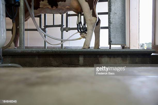 Cow attached to milking machine in cowshed