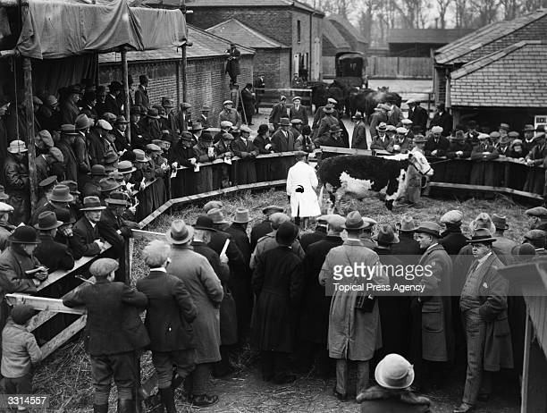 A cow being auctioned during a sale of the King's fat stock at the Royal farm at Windsor