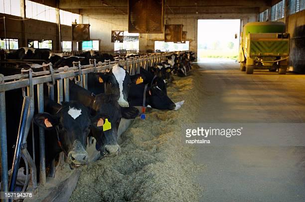 cow breeding - 2