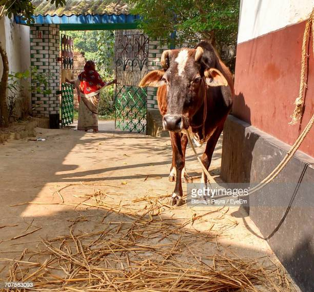 Cow By Building With Woman In Background