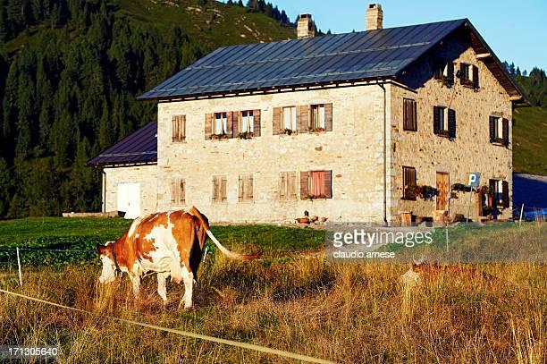 Cow. Color Image