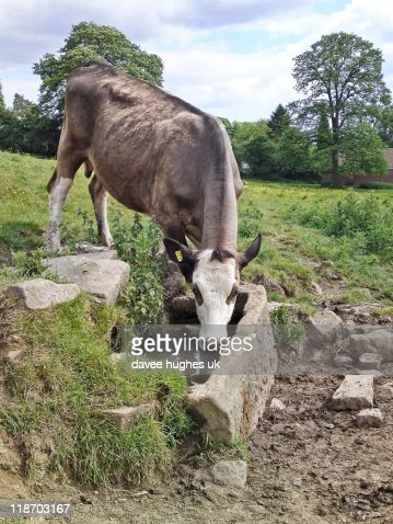 Cow drinking from old stone trough