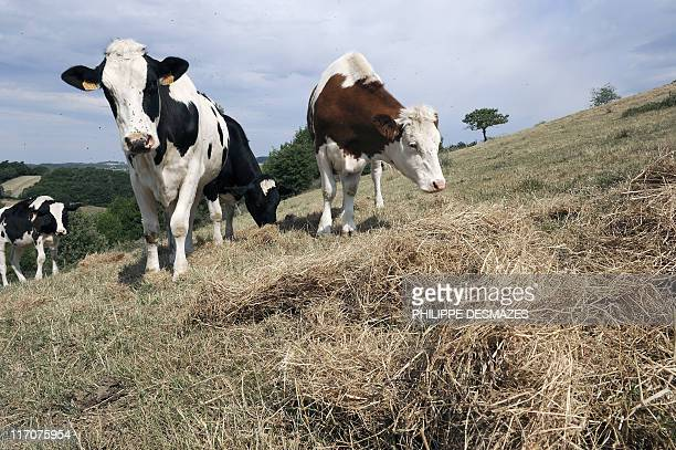 Cow eat hay brought by the farmer in a field hit by drought on May 26 2011 in SaintMartinenHaut near Lyon April in France was the second warmest...