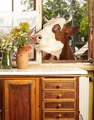 Cow eating flowers throu