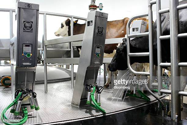 A cow enters a high tech milking cell at the Blanca From The Pyrenees dairy farm partnered with Ponderosa Holsteins in Els Hostalets de Tost Spain on...