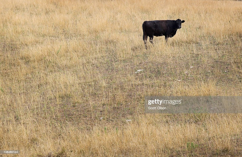 A cow feeds in a drought-damaged pasture as temperatures climb near 100 degrees on July 17, 2012 near Princeton, Indiana. The corn and soybean belt in the middle of the nation is experiencing one of the worst droughts in more than five decades.
