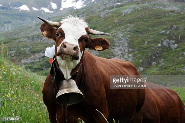 A cow from the 'Abondance' race arrives to an alpine pasture on June 28 2013 in SaintMartindeBelleville French Alps during a transhumance to summer...