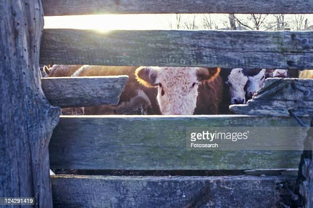 Cow gazing through wooden slats, cattle farm