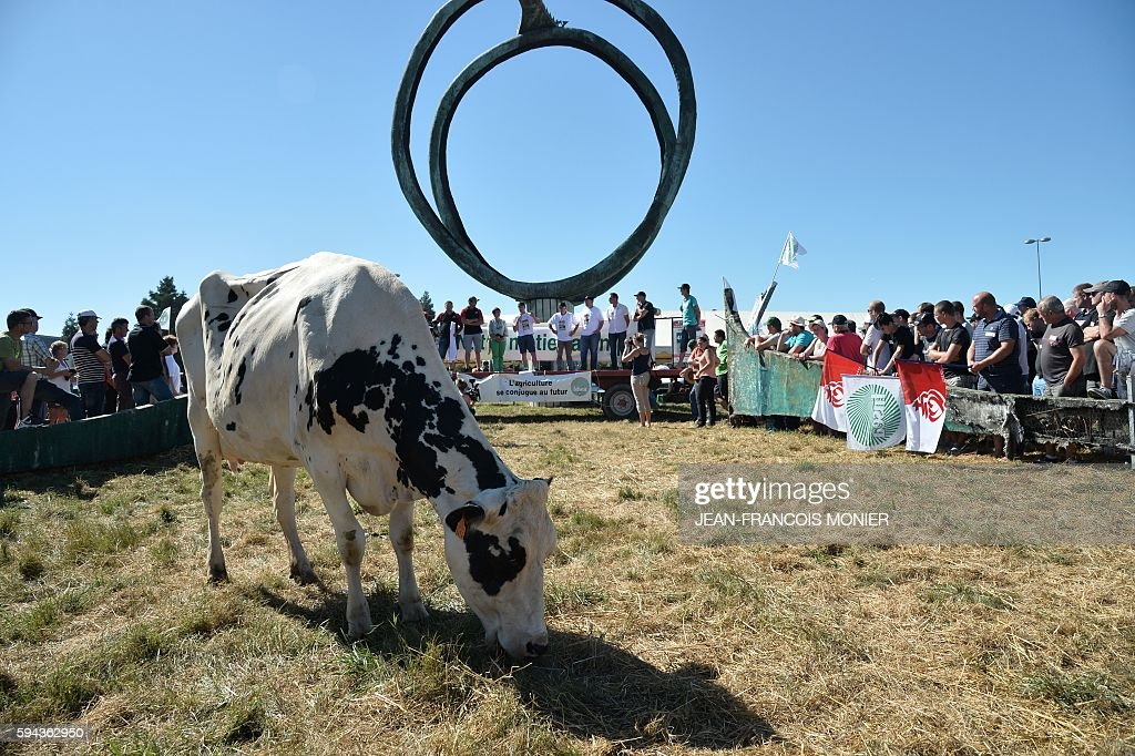 A cow grazes as farmers block access to the Lactalis group headquarters in Change near Laval northwestern France during a protest to ask for a 'fair...