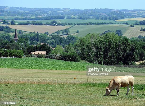 A cow grazes in a field hit by drought on May 25 2011 in Samatan south western France as nearly a third of the country's departments or...