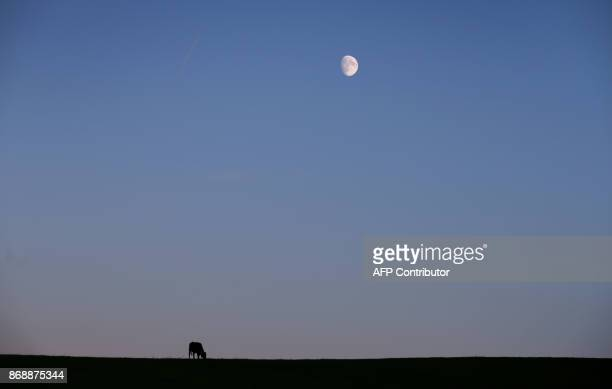 A cow grazes under a waxing moon on a pasture near Stoetten in the Allgaeu region southern Germany on October 31 2017 / AFP PHOTO / dpa / KarlJosef...