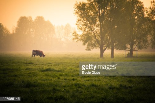 Cow grazing in field : Stock Photo