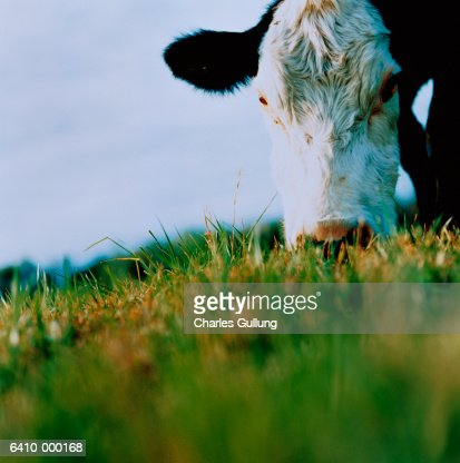 Cow Grazing in Meadow : Stock Photo