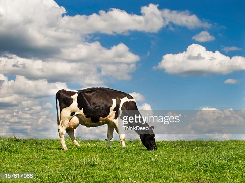 Holstein cattle on the meadow