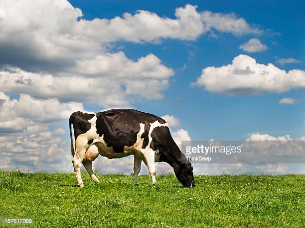 A cow grazing on a hill in a field
