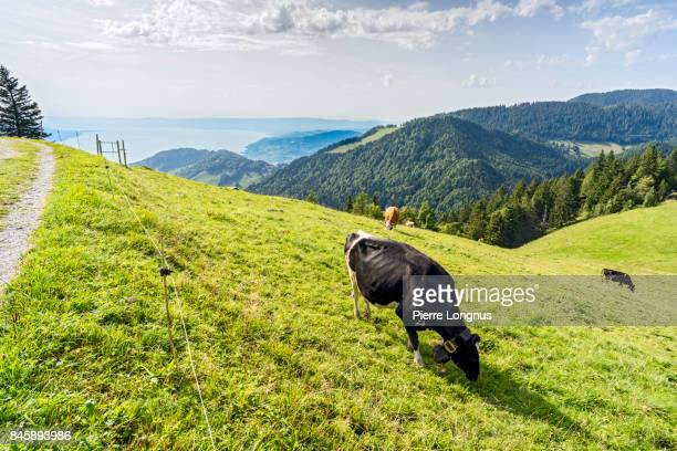Cow grazing on an alpine meadow above Lake Geneva and the city of Montreux, Switzerland