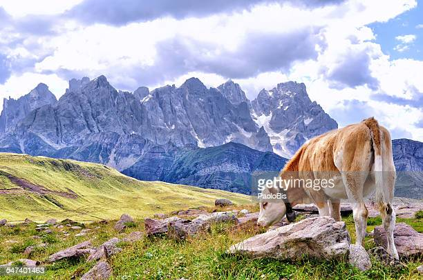 Cow grazing on an alpine meadow, in a summer day