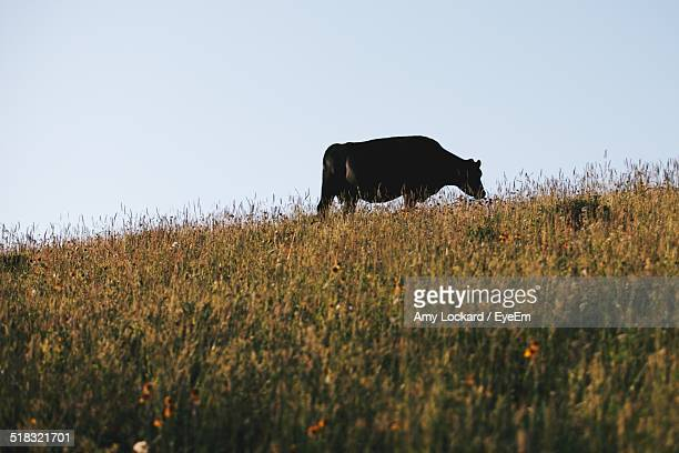 Cow Grazing On Grassy Field Against Clear Sky
