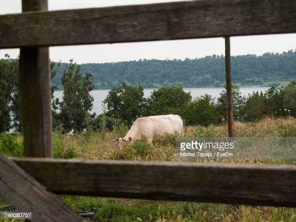Cow Grazing On Grassy Field By Lake Seen Through Wooden Fence