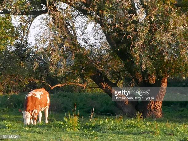 Cow Grazing On Grassy Field By Tree In Farm