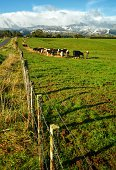 Cow Herd Grazing By Fence On Field Against Sky