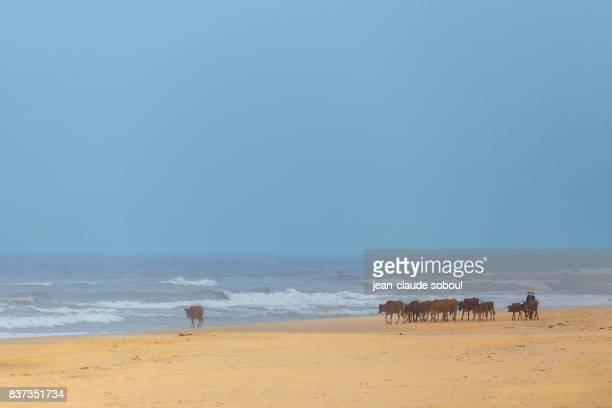 A cow herd on a beach, in Ninh Binh province (Vietnam)