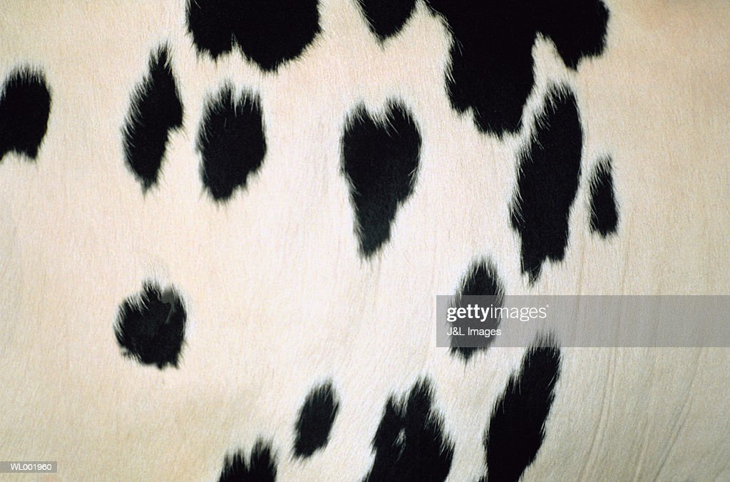Cow Hide Detail : Stock Photo
