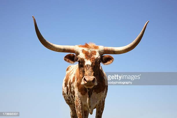 Vache corne de buffle, au Texas