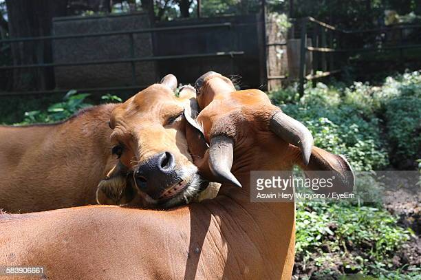 Cow Hugging Each Other