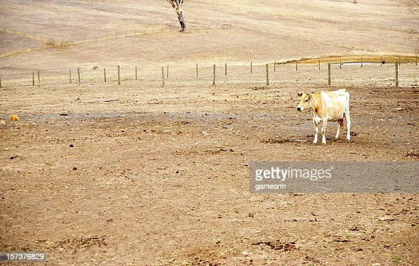 Cow in a dry paddock