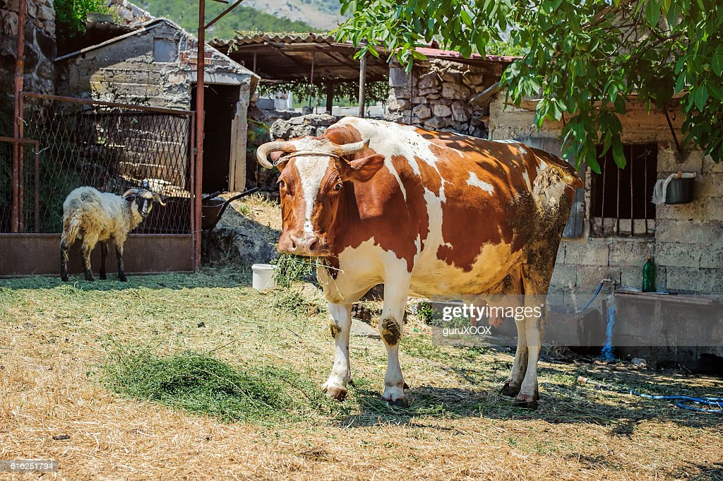 Vaca en un mountain village : Foto de stock