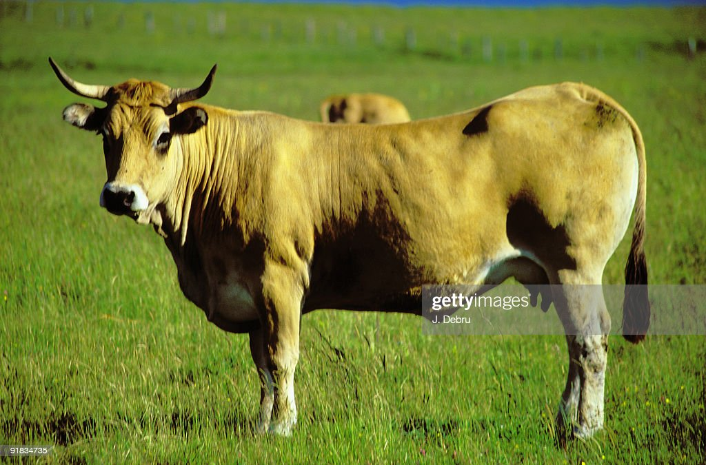 Cow in a pasture : Stock Photo