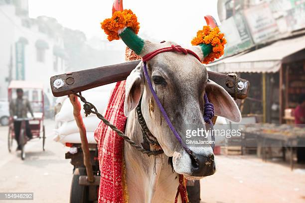 cow in an indian street