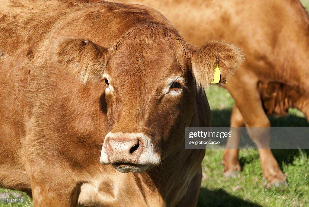 Vaca na Cornualha : Foto de stock