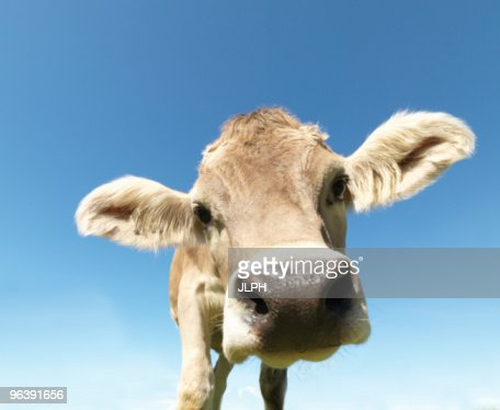 Cow in field, close-up : Stock Photo