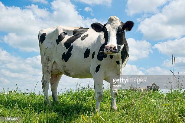 Cow in field, low angle.