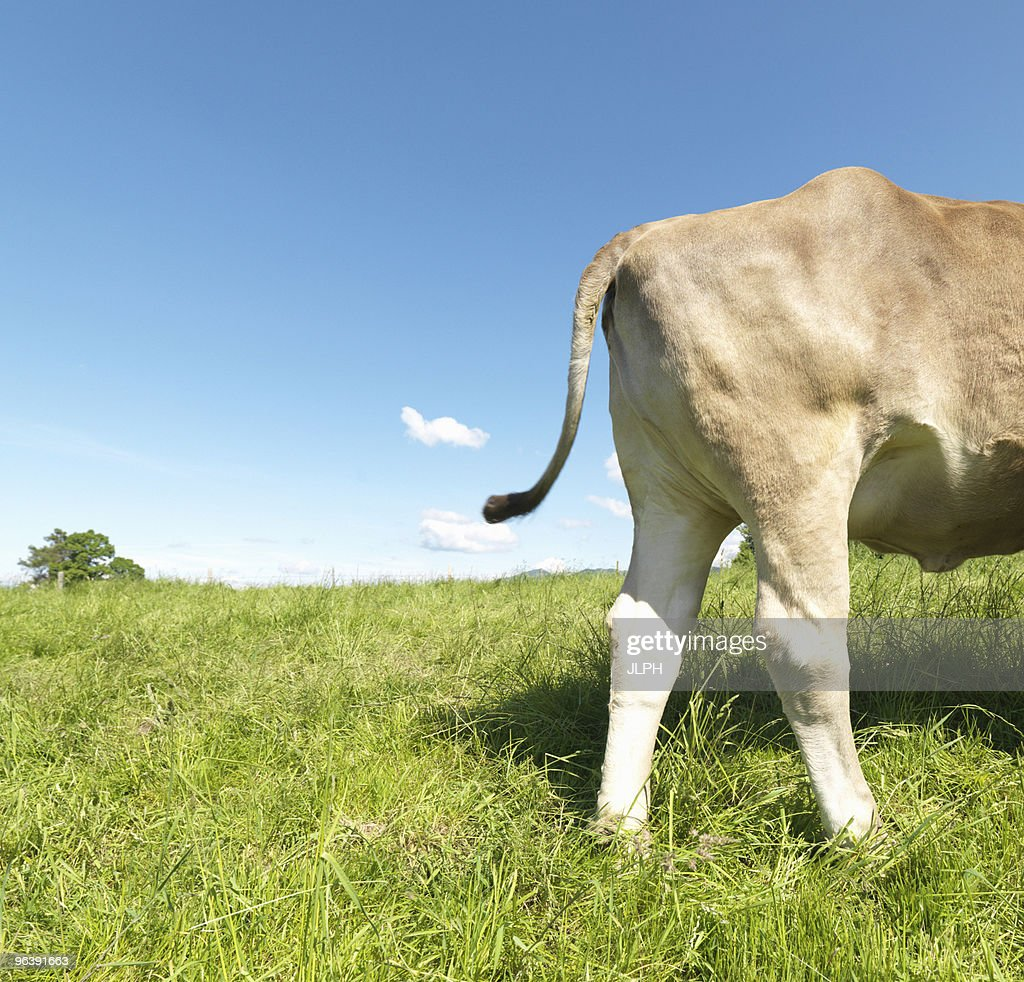 Cow in field, rear only, side view : Stock Photo