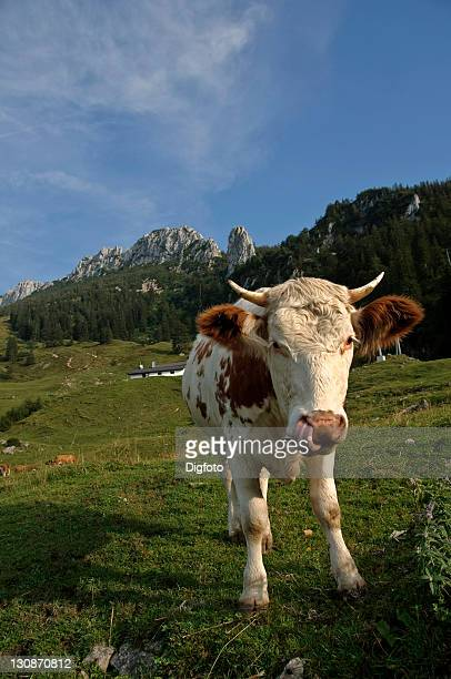 Cow in front of Mt. Kampenwand, Upper Bavaria, Bavaria, Germany, Europe