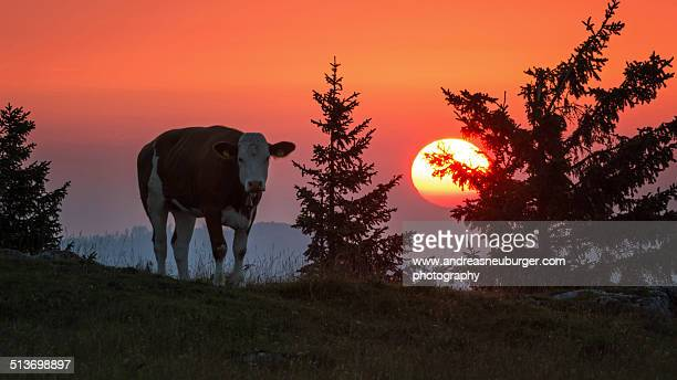 Cow in front of raising sun