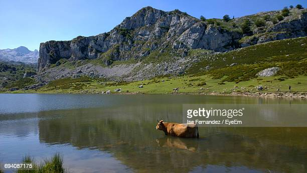 Cow In Lake Against Rocky Mountain
