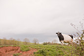 Cow in pasture and overcast sky