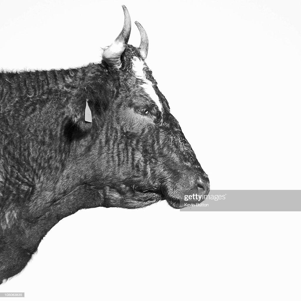 Cow in Profile : Stock Photo