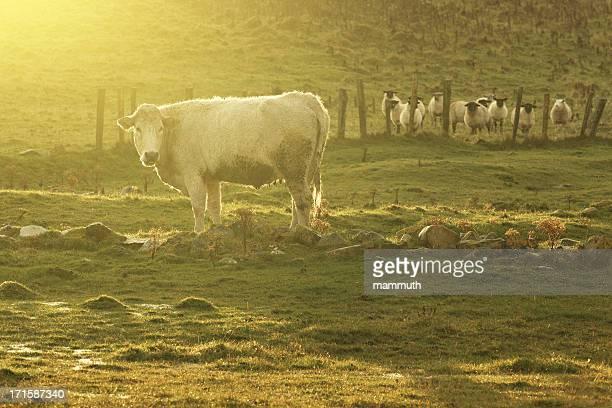 cow in sunlight