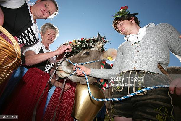A cow is decorated for the ceremonial cattle drive on September 13 2007 in Oberstdorf Germany The farmers bring their cattle down from the mountains...