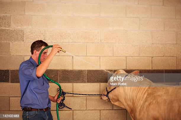 A cow is hosed down as it is readied for judging during preparations for 2012 Sydney Royal Easter Show at the Sydney Showground on April 3 2012 in...