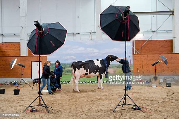 A cow is made ready to be photographed at the 'Schau der Besten' cow beauty contest on February 25 2016 in Verden northern Germany Around 200 cows...