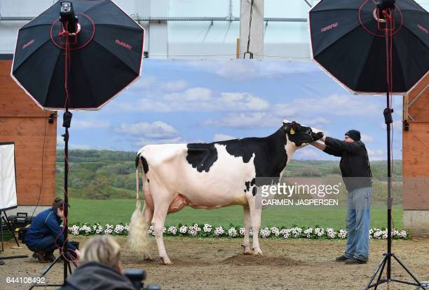 TOPSHOT A cow is made ready to be photographed during the 44th edition of the 'Schau der Besten' dairy cow beauty pageant on February 23 2017 in...