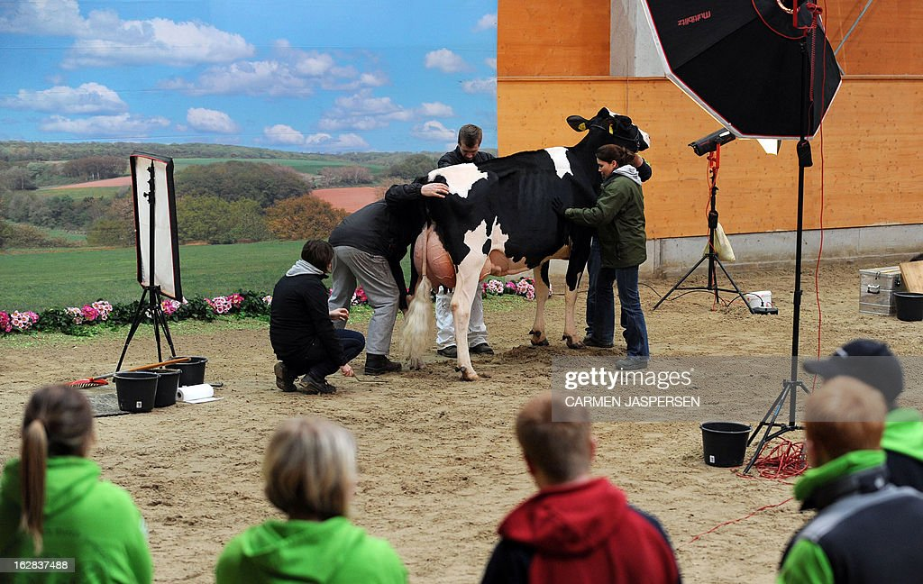 A cow is made up for a photocall at the '40th Show of the Best' agricultural exhibition on February 28, 2013 in Verden, western Germany. During the annual show, cows from the region compete for the 'Miss' title of the exhibition's beauty contest.