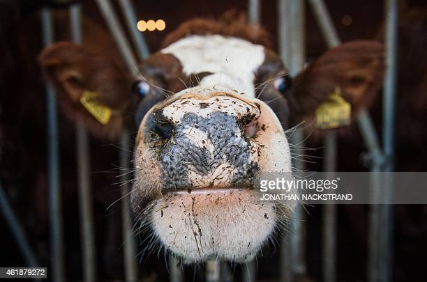 A cow is pictured at a dairy farm on January 19 2015 near Enkoeping northwest of Stockholm Sweden's milkindustry lobby is struggling to boost milk...
