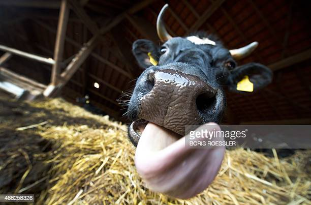 A cow is pictured on April 1 2015 at the Dottenfelder Hof farm near Bad Vilbel western Germany German dairy farmers Europe's biggest producers will...
